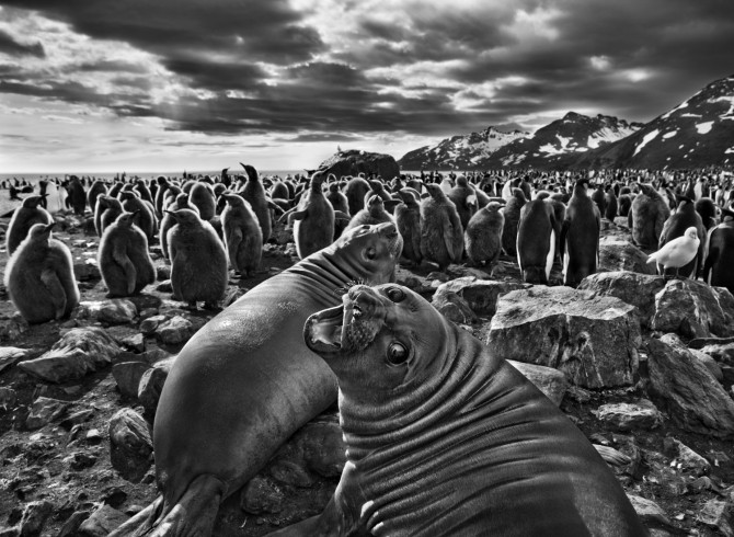 A pair of Southern Elephant Seal calves, South Georgia. Gelatin silver print