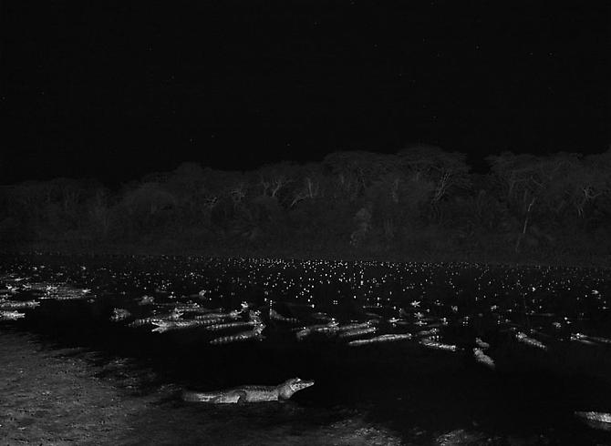 Yacare caimans in Pantanal, a tropical wetland, one of the world's largest wetland of any kind, State of Mato Grosso, Brazil 2011 gelatin silver print