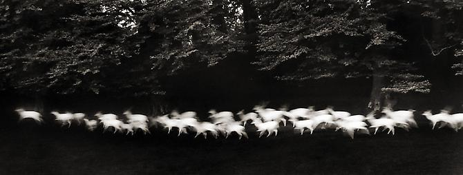 Running White Deer, County Wicklow, Ireland 1967 gelatin silver print