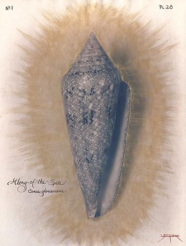 Glory-of-the-Sea Cone 2004 toned cyanotype with hand coloring