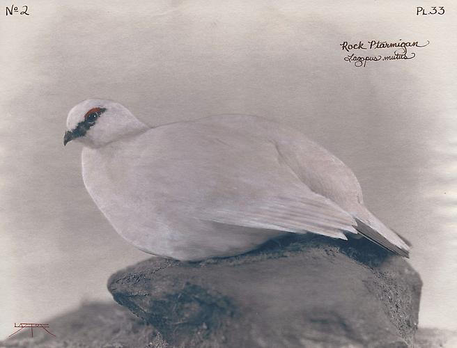 Rock Ptarmigan 2004 toned cyanotype with hand coloring
