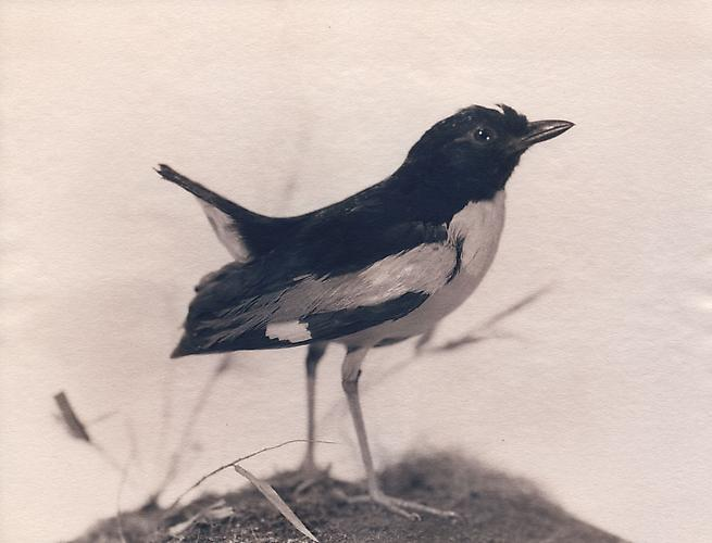 Ivory-Breasted Pitta 2004 toned cyanotype with hand coloring