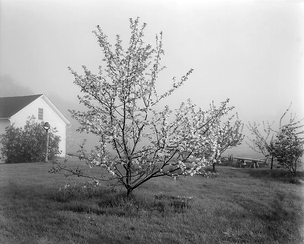 Young Stayman Winesap in Bloom circa 1985 gelatin silver print