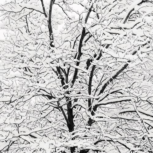 Snow Covered Branches 2005 gelatin silver print