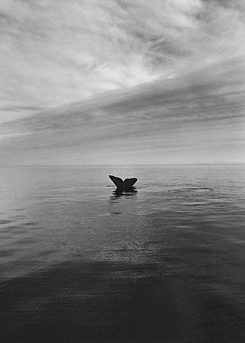 Southern Right Whale Tail, Adelita Peninsula Valdes, Atlantic Coast of Patagonia, Argentina 2004 Gelatin Silver Print