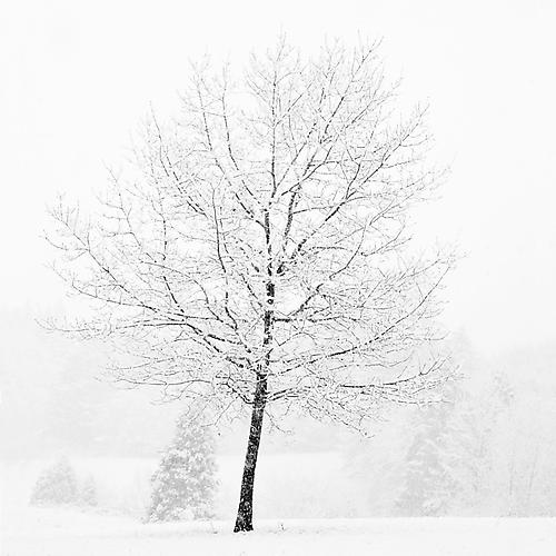 Lone Tree in Snow 2007