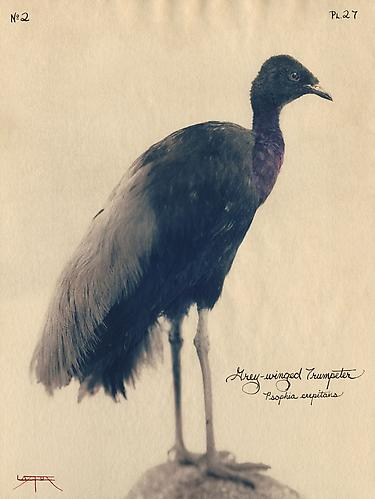 Grey-Winged Trumpeter 2004 toned cyanotype with hand coloring