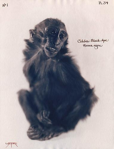 Celebes Black Ape 2004 toned cyanotype with hand coloring