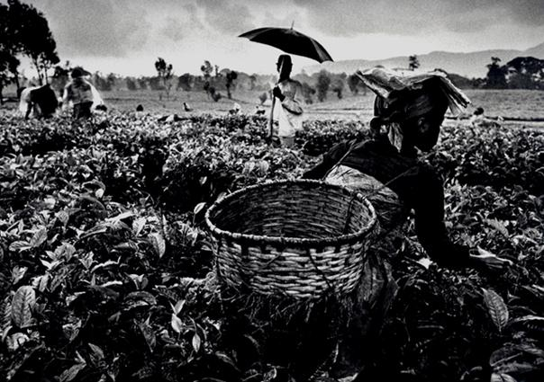 Tea picking in the hills of the Gisakura plantation, Rwanda 1991 gelatin silver print