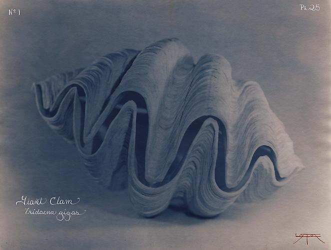 Giant Clam 2004 toned cyanotype with hand coloring