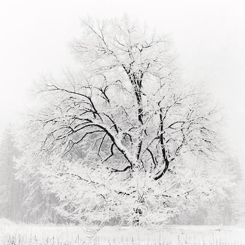 Grand Oak in Snow 2001 gelatin silver print
