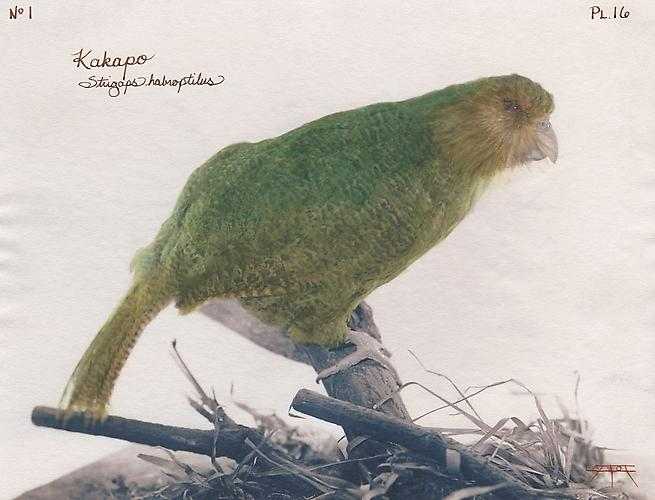 Kakapo 2003 toned cyanotype with hand coloring