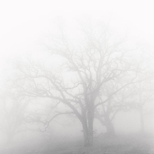 Oak and Fog 1998 gelatin silver print