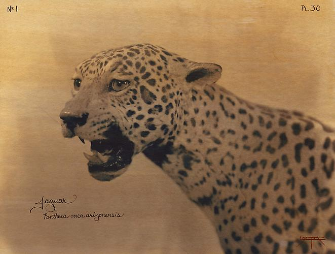Jaguar 2004 toned cyanotype with hand coloring
