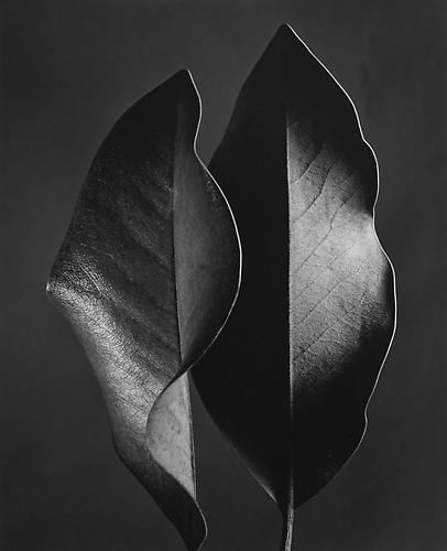 Two Leaves 1952 selenium-toned gelatin silver print