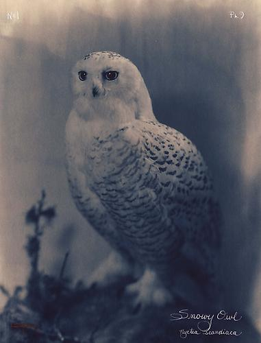 Snowy Owl 2003 toned cyanotype with hand coloring