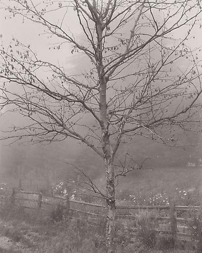Tree in Fog, The Post Ranch, Big Sur, California 1998 platinum Palladium