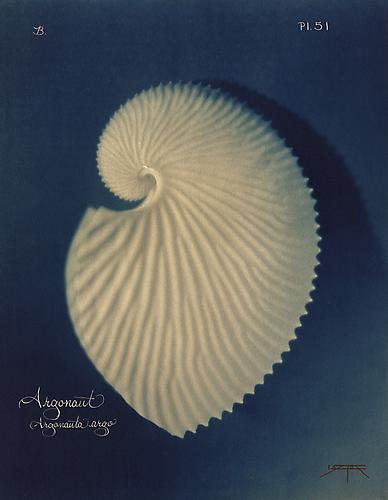 Argonaut    2005 toned cyanotype with hand coloring