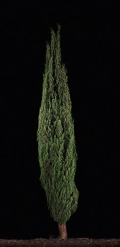 Barosh #1 (Cypress) , 2011 C-Print 67.75 x 33.75 inches Edition of 6