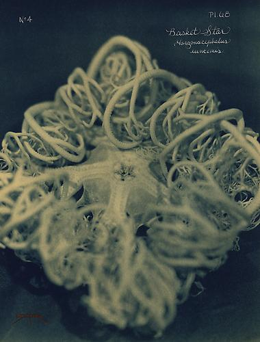 Basket Star 2005 toned cyanotype with hand coloring