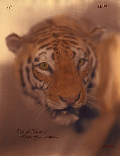 Bengal Tiger  2010 toned cyanotype with hand coloring
