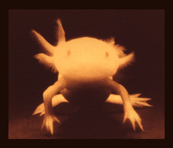 Axolotl , 2013 Pigment print on rag, with UV-shielding varnish 5½ x 6½ in., image; 8½ x 11 in., sheet; No. 1 from an edition of 10