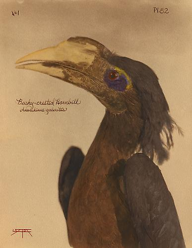 Bushy-Crested Hornbill 2010 toned cyanotype with hand coloring