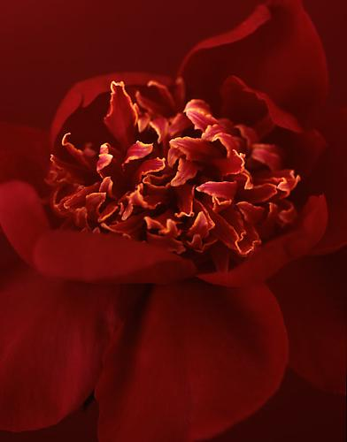 Paeonia 'William Carter' 2009 pigment print