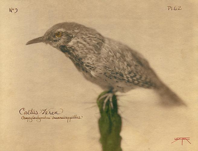 Cactus Wren 2005 toned cyanotype with hand coloring
