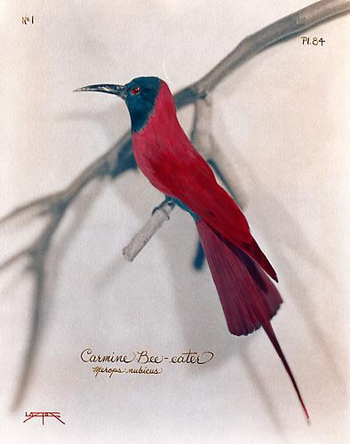 Carmine Bee-Eater 2007 toned cyanotype with hand coloring