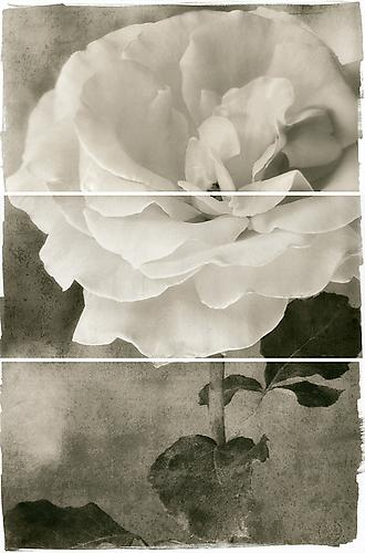 Tea Rose 2011 Platinum/Palladium