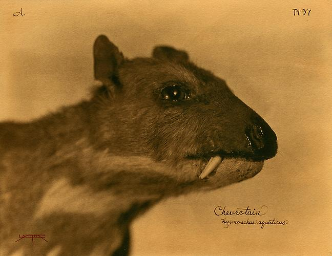 Chevrotain 2007 toned cyanotype with hand coloring