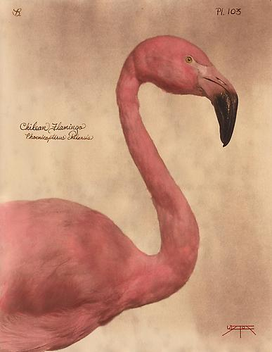 Chilean Flamingo 2010 toned cyanotype with hand coloring