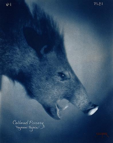 Collared Peccary  2007 toned cyanotype with hand coloring