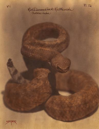 Diamondback Rattlesnake  2010 toned cyanotype with hand coloring