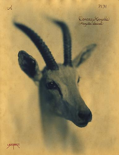 Dorcas Gazelle 2010 toned cyanotype with hand coloring