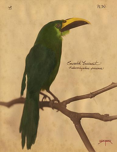 Emerald Toucanet 2010 toned cyanotype with hand coloring