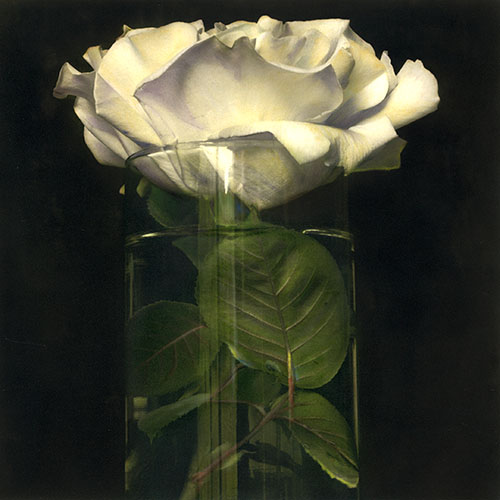 Yellow Tea Rose 1999 Hand painted gelatin silver print
