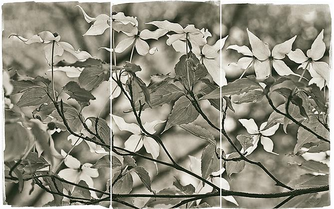 Floating Dogwood 2011 Platinum Palladium