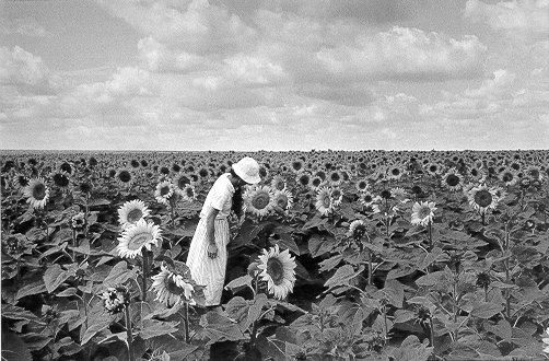 Tournesols, France 1987 Gelatin silver print