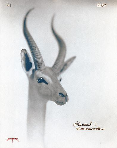Gerenuk  2003 toned cyanotype with hand coloring