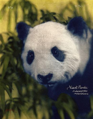 Giant Panda  2005 toned cyanotype with hand coloring