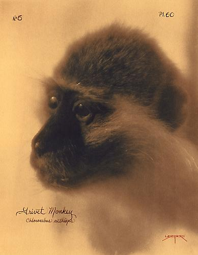Grivet Monkey  2003 toned cyanotype with hand coloring