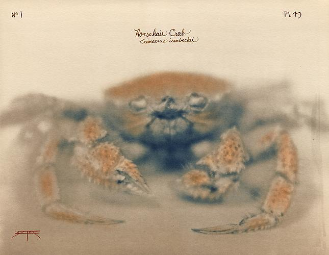 Horsehair Crab 2005 toned cyanotype with hand coloring