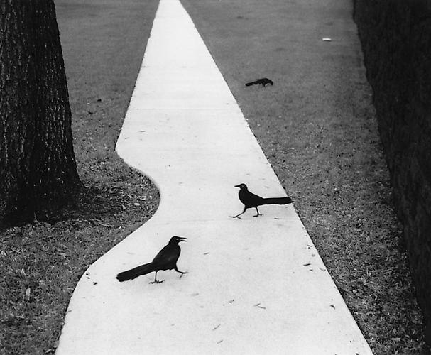 Houston, Texas (Two Birds on Path) 1998 Gelatin Silver Print