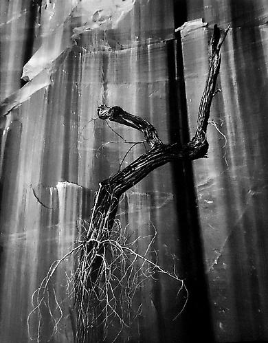 Dead Cottonwood Against Wall of Willow Canyon 1964 gelatin silver print