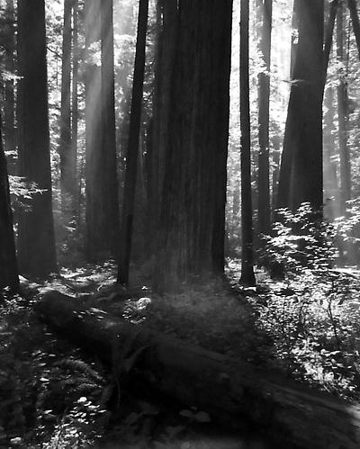 Down Log, Sun Thru Bull Creek Redwoods 1952 gelatin silver print