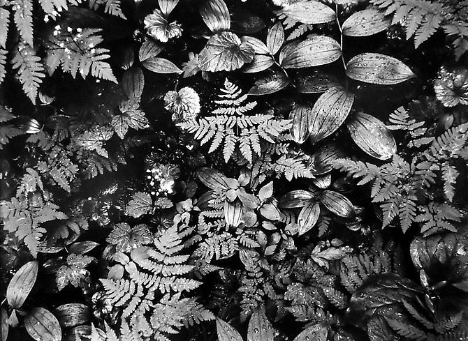 Forest floor, Glacier Peak Wilderness 1956 gelatin silver print