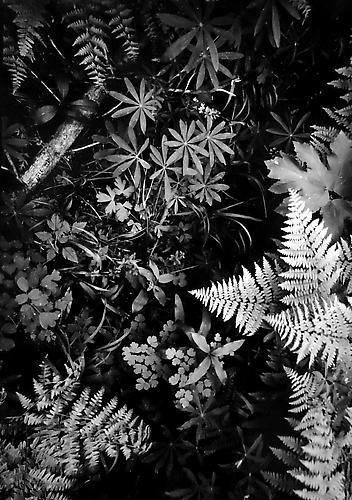 Forest Floor, Northern Yosemite 1950 gelatin silver print