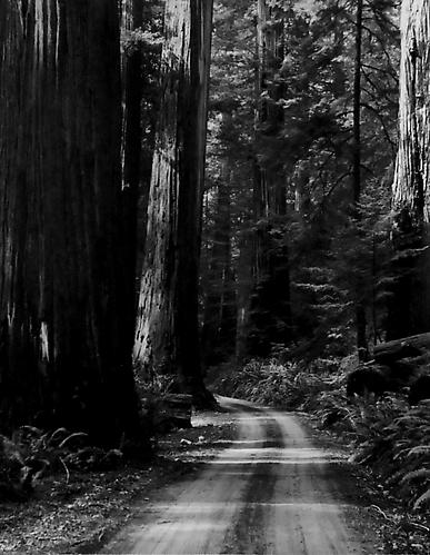 Mill Creek Road, Redwoods 1962 gelatin silver print